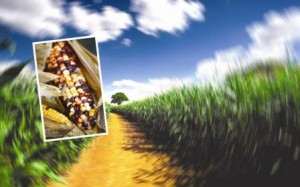 Titre maïs
